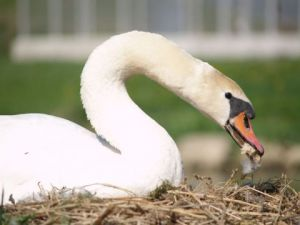 Photo de olympia: Cygne