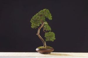 Oeuvre de Bonsai-Sui: Juniperus chinensis
