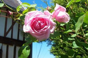 Photo de Isabelle Richet: Rose du jardin