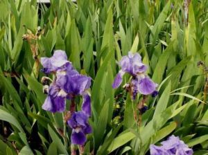 Photo de JYHEL: IRIS