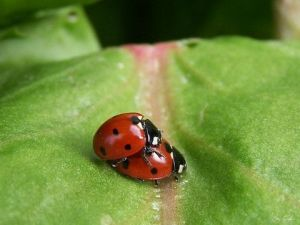 Photo de Gregory Foulon: Amour de coccinelles