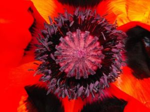 Photo de aquarius: COQUELICOT