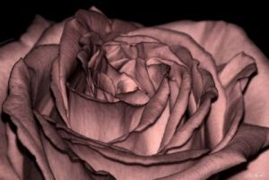 Photo de Gregory Foulon: Coeur de rose