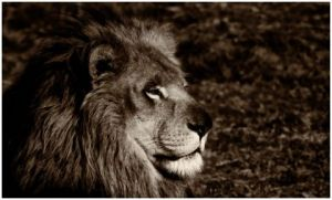 Photo de gil: roi lion
