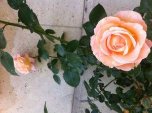 Photo de Beyla Lavana: roses