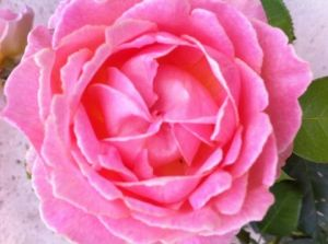Photo de Beyla Lavana: rose rose