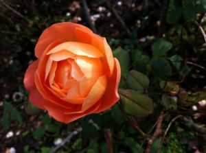Photo de Beyla Lavana: Rose orange