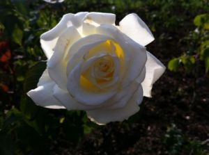 Photo de Beyla Lavana: rose
